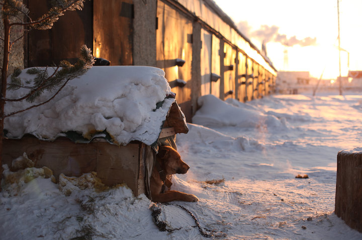 Chained dog looking restful in -47c.